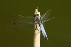 Black Tailed Skimmer dragonfly at Swanwick Lakes Nature Reserve, Hampshire, UK (Art-G) Tags: insect blacktailedskimmer bokeh swanwicklakes naturereserve hampshire uk canon eos7dmkii 100400lisusm