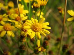 Senecio vulgaris (Vulpe Photographie) Tags: fleur fleurs flower flowers macro macrophoto macrophotography plant nature plante france normandie normandy eure coolpix nikon p900 closeup