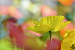 Nature's watercolour (avnz101) Tags: poppies nature bright flower plant ngc npc