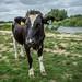 Flatford Cow