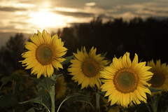 Sunflowers field in the sunset (Renato Di Prinzio Fotografía) Tags: sunflowers field sunset sunflower fields afternoon sun clouds nature flora floral petals yellow girasoles sol atardecer campos bloom bloomming blossom plant plants natural light naturaleza amarillo green verde petalos