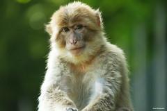 Regard sur le Monde ! (*PYROS*) Tags: animaux faune sauvage singe regard nature