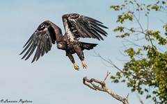 Juvenile bald eagle liftoff - Staten Island, New York (superpugger) Tags: baldeagle baldeagles eagle eagles birdsofprey island bald statenislandwildlife statenislandnature statenislandoutdoors statenislandbaldeagles newyorkcitynature newyorkcitywildlife
