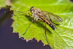 Robber fly (Shane Jones) Tags: robberfly fly insect wildlife nature compoundeye nikon d7200 tamron180mmmacro pk3extensiontube pk3x2 canon500d macro macrolife macrophotosnolimits macrolicious