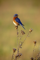 IMG_0279 (Larry E. Anderson) Tags: biome camdenstatepark easternbluebird ecosystem minnesota sialiasialis bird passeriformes passerines prairie seasons songbirds spring
