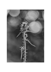 A Prickly Subject. (muddlemaker1967) Tags: hampshire nature photography blackwhite highlights bokeh thorns fujifilm xt1 nikkor 105mm f25 ais lens fotodiox adapter