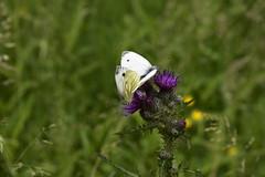 Auf einer Feuchtwiese im Baccumer Wald, Rapsweißlings-Paarung (Pieris napi) auf einer Acker-Kratzdistel (Cirsium arvense); Lingen (10) (Chironius) Tags: lingen baccumerwald baccumerforst wald emsland germany deutschland niedersachsen allemagne alemania germania германия tier schmetterling butterfly papillon kupukupu farfalla vlinder motyl бабочка mariposa asterids campanuliids asternartige asterales korbblütler asteraceae carduoideae cynareae blüte blossom flower fleur flor fiore blüten цветок цветение forest forêt лес bosque skov las lingenerhöhe