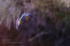 Kingfisher (KevinBJensen) Tags: birds wildlife wildlifephotography animals animal bird wild naturephotography