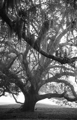 Oaks & Crows