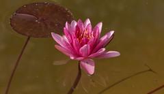 Nymphaea Attraction (G.Sartori.510) Tags: pentaxk1 hdpentaxdfa150450mmf4556eddcaw nymphaeaattraction fiore flower