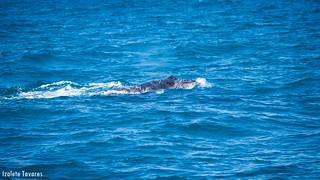 Humpback whale - Baleia Jubarte