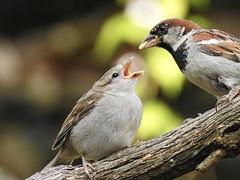 Good Old Dad! (robinlamb1) Tags: nature outdoor animal bird sparrow housesparrow passerdomesticus branch