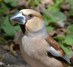 Hawfinch (KHR Images) Tags: hawfinch coccothraustescoccothraustes wild bird ukslargestfinch large bill forestofdean gloucestershire wildlife nature nikon d500 kevinrobson khrimages