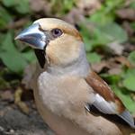 Hawfinch thumbnail