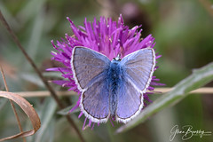 4B9A9748 Common Blue Male 180815 BENR copy (Glenn Beasley) Tags: macrounlimited macrodreams male commonblue brockadale butterfly blue butterflies flower thistle macro insect nature summer