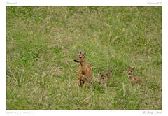 Chevreuil et faons (BerColly) Tags: france auvergne puydedome mammifere mammal chevreuil roe faon fawn prairie meadow cachecache hideandseek été summer bercolly google flickr