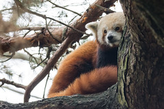 2018-08-06 (silare) Tags: tree afternoon cloudy overcast serious obscured sitting candid carson redpanda firefox ailurusfulgens endangered mammal animal woodlandparkzoo zoo phinneyridge seattle washington