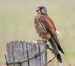 Male Kestrel (Nigey2) Tags: bird birds raptor kestrel birdbirdofpreywildlife