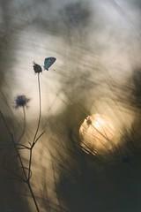 Sunset (donlope1) Tags: macro nature light papillon butterfly sunset sun summer bokeh proxy wildlife
