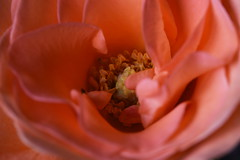 DSC_0922 (PeaTJay) Tags: nikond750 sigma reading lowerearley berkshire macro micro closeups gardens indoors nature flora fauna plants flowers bouquet rose roses rosebuds