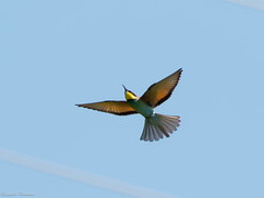 EM170971_DxO-1.jpg (riccardof55) Tags: birdwatching uccello gruccione montecastelletto
