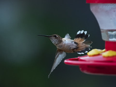 Life was always a matter of waiting for the right moment to act… (ferpectshotz) Tags: allenshummingbird hummingbird california bird balcony nature wild flowers summer d500 macro telephoto fight wingspan