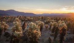 Cholla (Dancing.With.Wolves) Tags: cacti sunrise serene desert hot fall 2017 2018 national park dry wind dust camping hiking trip journey clouds rocks mountains spikes spike sharp point beautiful glow