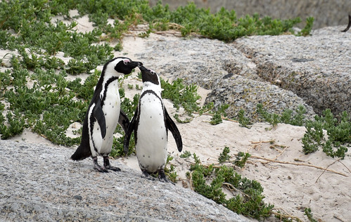 NKB_9206 penguin courting