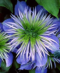 Flowers And Garden Ideas : Clematis 'Crystal Fountain' (flowersdottn) Tags: flowers