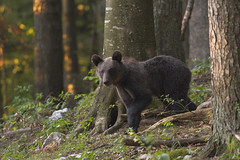 Foresta di Kocevje (Slovenia) (ric.artur) Tags: nikon naturalmente natura orsi slovenia animali