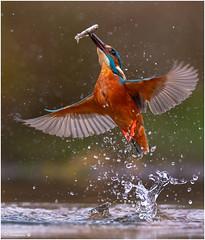 MAGNIFICENT KINGFISHER (d1ngy_skipper) Tags: rivers waterbirds kingfisher britishwildlife britishbirds d5nikon scottishwildlife scotland europeanwildlife englishnature nature dumfries