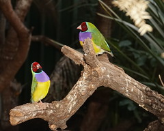 Gouldian Finches - Erythrura gouldiae. (ron_n_beths pics) Tags: westernaustralia perthbushlands nativebirds guldianfinch erythrura whitemanpark