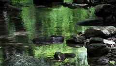 Abbraccio (lincerosso) Tags: acqua water acquefluenti ruscello fondovalle riflessi coloresmeraldo valrosandra estate bellezza armonia