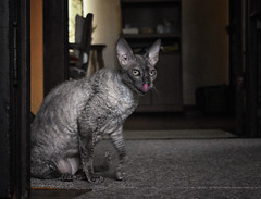 Tsunami the stealth master (tairuba) Tags: cat cornishrex