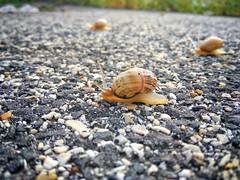 ... l'autunno è una lumaca che sporge le corna. (Jan Skacel) (Laura Anzini) Tags: mobilephotography expressionofmyself xiaomiremndipro3 macro passeggiando passionefotografica passion lumaca snails naturalisticphoto nature animals aftertherain