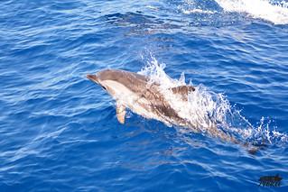 Dauphins bleus et blancs