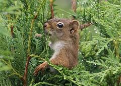 Sors de ta cachette...Écureuil, Squirrel (francepar95) Tags: écureuilécureuil cèdres matin rosée nature squirrel