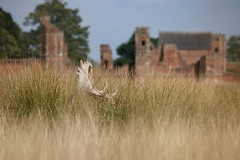Stay Cool Mr Fallow (ianderry64) Tags: wildlife england leicester park bradgate ruin grass buck stag deer fallow landscape nature shade summer cool hot