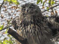 hibou grand duc1808141550 (opa guy) Tags: animaux continentsetpays domainesaintecroix europe france grandest lorraine moselle rhodes hibougrandduc oiseauxbirdvogel
