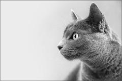 My Paula (Eva Haertel) Tags: eva haertel canon5dmarkiii schwarzweiss sw blackandwhite bw cat paula pet animal russischblau russianblue profil portrait