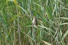 Reed Warbler / Rousserolle Effarvatte / Rouzegan-korz (Dr Wood's Wildlife Photos) Tags: reedwarbler acrocephalusscirpaceus rousserolleeffarvatte rouzegankorz carricerocomún teichrohrsänger kleinekarekiet rytikerttunen καλαμοποταμίδα rørsanger trzcinniczek rouxinolpequenodocaniços rörsångare