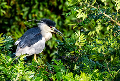 Night Heron (mayekarulhas) Tags: oceancity newjersey unitedstates us night heron canon canon1dxmark2 bird wildlife avian