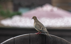 Mourning Dove (Dotsy McCurly) Tags: nikond750 nikkor200500mmf56eedvr mourningdove bird cute ant nature beautiful fence umbrella yard bokeh dof nj newjersey