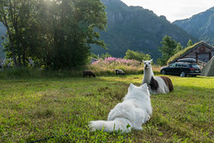 New friend? (hanschristian_nielsen) Tags: norge vandreferie norway trolleheimen summer hiking dog samoyed llama car building kårvatn dnt