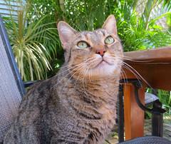 Key West (Florida) Trip 2017 7968Ri (edgarandron - Busy!) Tags: coco cat cats kitty kitties tabby tabbies cute feline florida keys floridakeys keywest authorsofkeywest