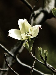 Green and White (A Leprous Witch) Tags: flower flowers tree spring nature photography macro green white