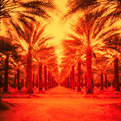 lomo palms (xpro). mecca, ca. 2018. (eyetwist) Tags: eyetwistkevinballuff eyetwist mecca palms palmtrees vanishingpoint infinite california desert saltonsea film xpro orange yellow red lomo lca 120 minigon 38mm kodak ektachrome el400 el 400 crossprocessed crossprocess lomolca120 minigonxl38mmf45 kodakektachromeel400 expired iconla epsonv750pro lenstagger ishootfilm ishootkodak analog analogue emulsion square 6x6 mediumformat cross process processed vignette lomography lomographic lca120 plantation rows order ca111 sonorandesert landscape roadsideamerica salton sea sand palm trees fronds date farm ranch vanishing point perspective geometric fruit harvest palmsprings rowcoachella agriculture
