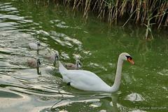 Sonntagsausflug - jetzt aber schnell (Sockenhummel) Tags: neuruppin schwan swan schwanenfamilie see lake sonntagsausflug wasservögel fuji xt10