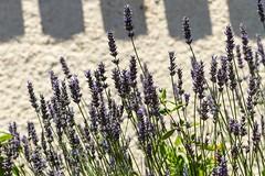 Juillet (July) (Larch) Tags: lumière light sun soleil ombre shadow lavende lavender perfumed parfumée fragance fragant sud south gruissan aude france lesud été summer flower wall mur thesouth juillet july