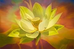 American Lotus (Wes Iversen) Tags: americanlotus chicagobotanicgarden glencoe htt illinois nelumbolutea nikkor18300mm texturaltuesday yellowlotus blooms blossoms colorful flower orange texture yellow yonkapin
